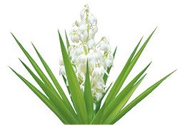 NutriSupport Yucca Schidigera