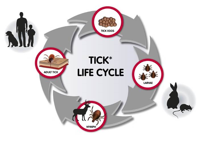 sheep tick life cycle