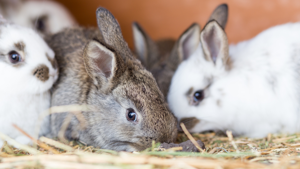 Rabbits in clean hutch